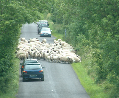 Learning to drive - hazard routine Sheep